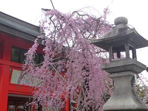 伏見稲荷大社の枝垂れ桜