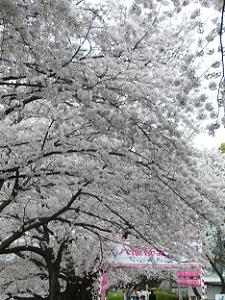 入り口付近の満開の桜