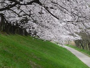 斜面に枝を伸ばす桜
