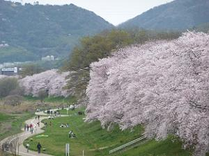 御幸橋から眺める桜並木