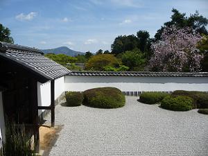 庭園の端から見る枝垂れ桜