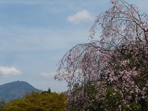 枝垂れ桜と比叡山