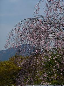 比叡山にかかる枝垂れ桜