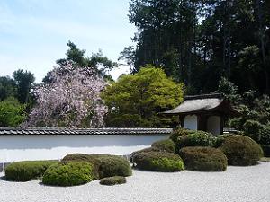 枝垂れ桜と新緑