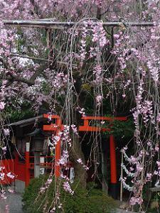 枝垂れ桜と鳥居