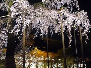 不二桜と講堂