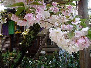 観音桜のアップ