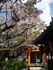 歓喜桜と鳥居