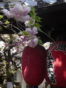 松月桜のアップ