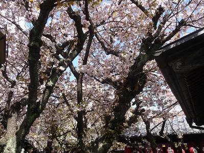 桜満開の境内