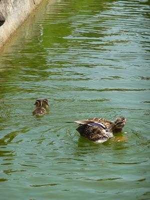 母親の近くで泳ぐカルガモの子供たち
