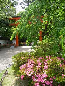 サツキと枝垂れ桜