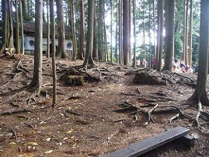 たくさんの杉の木