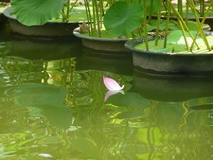 池を漂うハスの花びら
