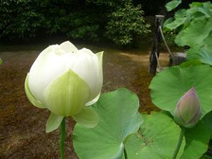 白色のハスの花