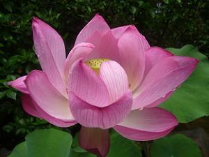 雫が滴るハスの花