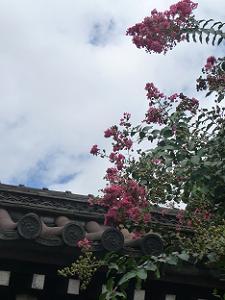 三条門前のサルスベリ