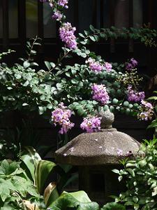 紫色のサルスベリ
