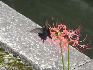 ヒガンバナにとまる蝶
