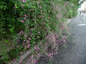 道路に散る萩の花