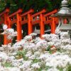 藤森神社の神楽殿前で咲くフジバカマ・2016年