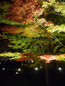 紅葉しつつあるカエデの葉