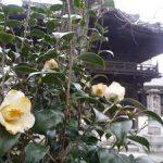 檀王法林寺の参道で咲く椿・2017年