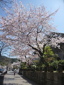 ウェスティン都ホテルの桜
