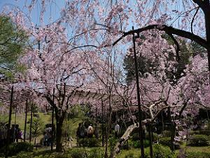 平安神宮の八重紅枝垂れ桜