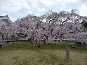 醍醐寺の枝垂れ桜