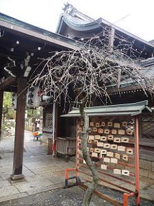 本殿脇の枝垂れ梅