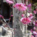 乃木神社の紅梅・2017年