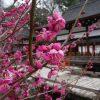 見ごろが近づく下鴨神社の光琳の梅・2017年