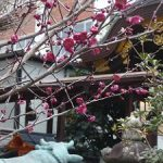 菅原院天満宮神社の梅・2017年2月23日の状況