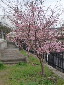 5分咲きの河津桜