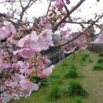 淀水路で開花した河津桜・2017年