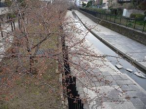 開花前の河津桜