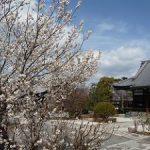 阿弥陀寺の満開の桃桜・2017年