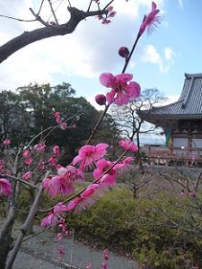 梅の枝先の花