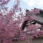 長徳寺の見ごろのオカメ桜・2017年