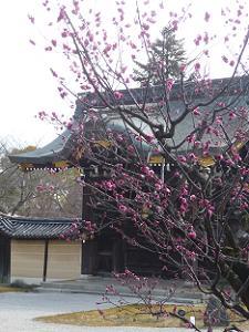 左近の梅と勅使門