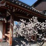 檀王法林寺の桃桜と椿・2017年
