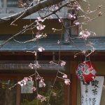 祇園白川で開花した枝垂れ桜・2017年