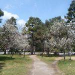 京都御苑の黒木の梅と咲き始めの桃・2017年