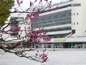 紅梅と競馬場の建物