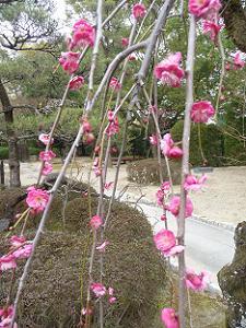 枝垂れ梅のアップ