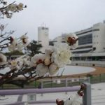 京都競馬場で咲き進む梅・2017年