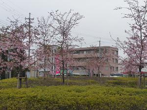 淀駅の河津桜