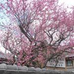 西福寺の満開の紅梅・2017年