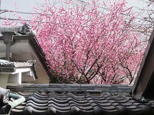 屋根と紅梅